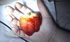 Big Juicy Strawberry