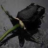 ~A Black Rose~