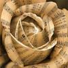 A musical rose