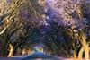 Rest under Jacaranda trees