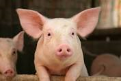 Piggy
